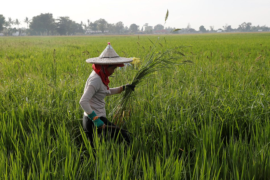 Rice Farmers to be given cash assistance by DA